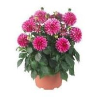 DAHLIA HYP PINK             RS