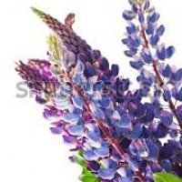 LUPINUS ANGUST.BLUE         BL